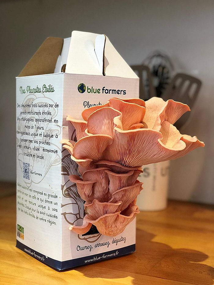 Culture de Champignons Kit Pleurotes Étoilés Pleurotes Roses