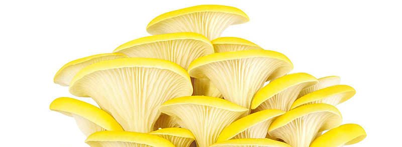 GUMELO Kit Champignons Pleurotes Bio (Citrus Jaunes) - Haut de Gamme