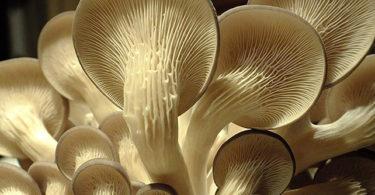 Kit culture de champignons Pleurotes gris Bio - GUMELO (Gris) - Haut de gamme - Champignons frais
