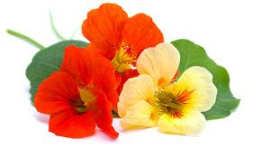 Les fleurs comestibles - La capucine