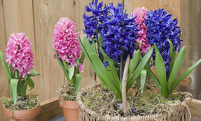 Quelle plante ou fleur dans sa jardinière en Janvier ? - La jacinthe