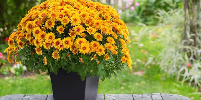 Quelle plante ou fleur dans sa jardinière en Novembre ? - Le chrysanthème