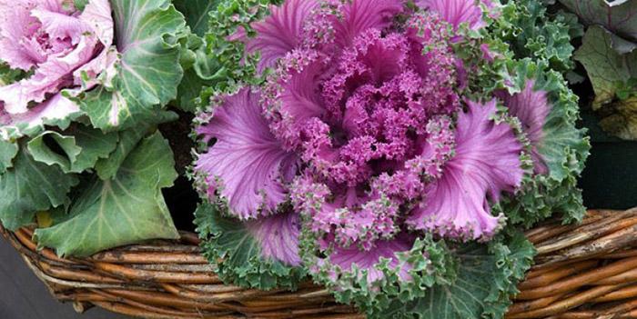 Quelle plante ou fleur dans sa jardinière en Octobre ? - Le chou d'ornement