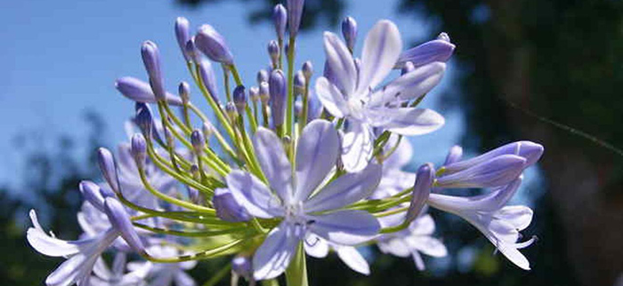 Quelle plante ou fleur dans sa jardinière en avril ? - L'agapanthe