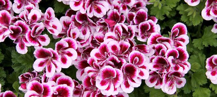 Quelle plante ou fleur dans sa jardinière en février ? - Le pélargonium
