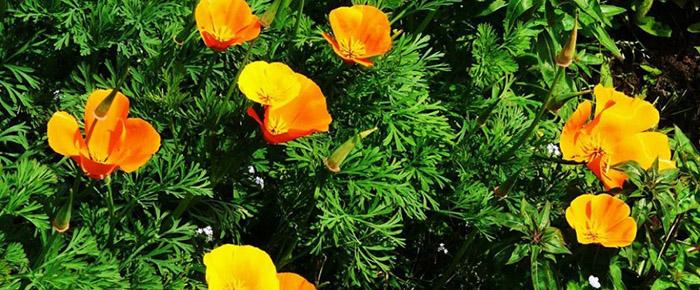 Quelle plante ou fleur dans sa jardinière en juin ? - Le pavot de Californie