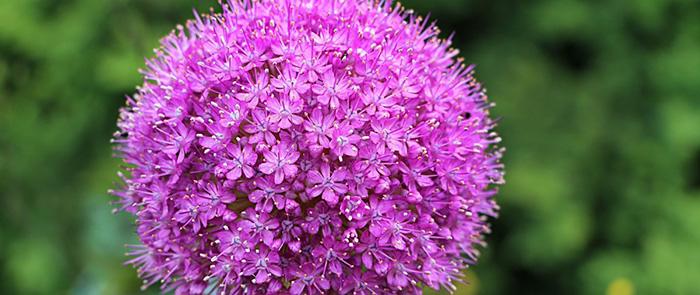 Quelle plante ou fleur dans sa jardinière en septembre ? - L'allium