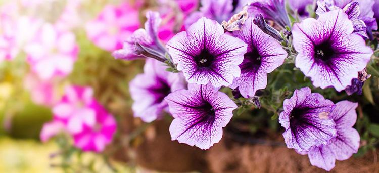 Quelle plante ou fleur planter dans sa jardinière en Juillet ?