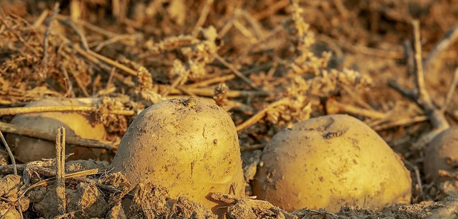 Les conditions à respecter pour la plantation de pommes de terre
