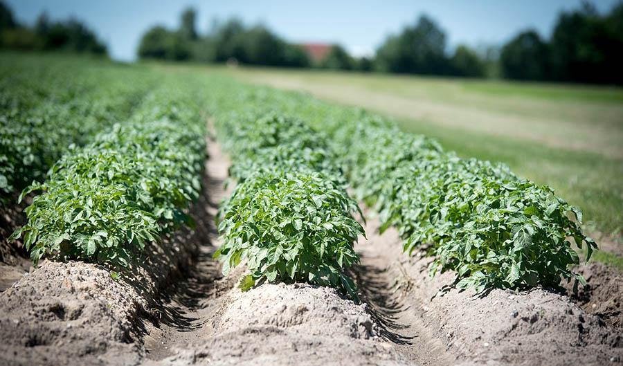 Les différentes méthodes qui aident à la bonne pousse des pommes de terre