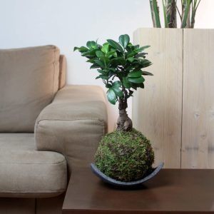 Avis - Kokedama Ficus Ginseng