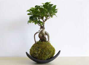 Test - Kokedama Ficus Ginseng